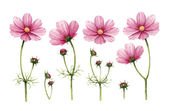 Cosmos flowers collection. Watercolor illustrations