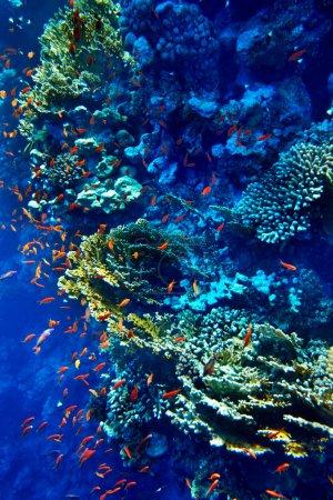 Photo pour Groupe de poissons corail eau bleue . - image libre de droit