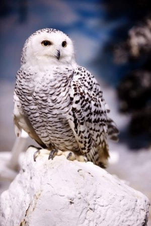 Photo pour Harfang des neiges se bouchent - image libre de droit