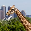 Giraffes in Taronga Zoo with a magnificent view of...