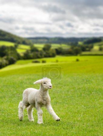 Cute lamb in meadow in wales or Yorkshire Dales