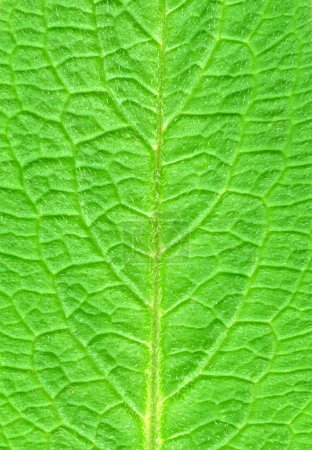 Photo for Green leaf. - Royalty Free Image
