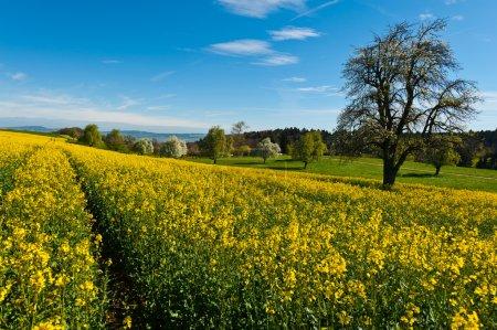 Photo pour Arbre en fleurs entouré de prairies en pente, Suisse - image libre de droit