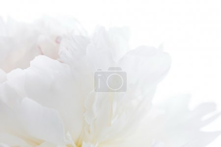 Photo for White peony - Royalty Free Image