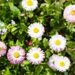 Field of daisy...