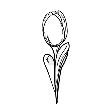 Illustration for Tulip sketch - Royalty Free Image