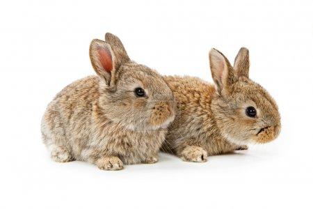 Photo pour Mignons lapins isolés sur fond blanc - image libre de droit