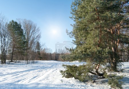 Photo for Winter landscape with fir trees - Royalty Free Image