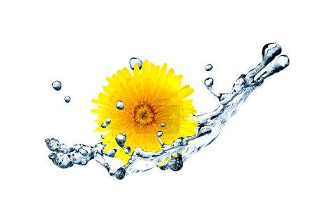 Dandelion In Water