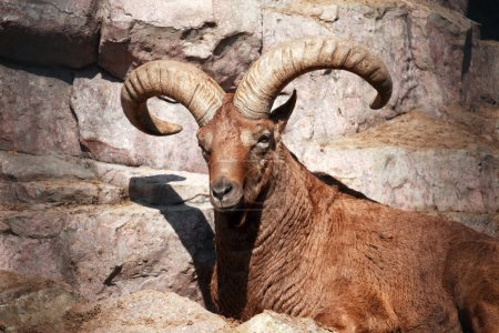 Photo for Wild Caucasian goat lying on the rock and looking to camera - Royalty Free Image
