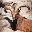 Wild Caucasian goat lying on the rock and looking ...