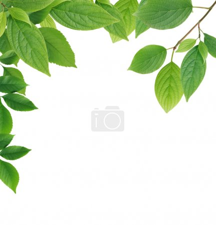 Photo for Nice border made from green leaves on white background - Royalty Free Image