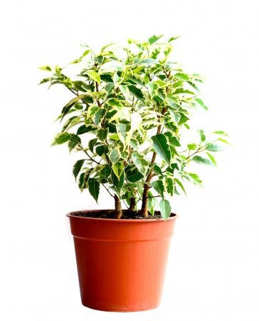 Photo for Home flower in a pot. ficus benjamina - Royalty Free Image