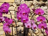 Purple Butterfly Orchids and Rock Wall