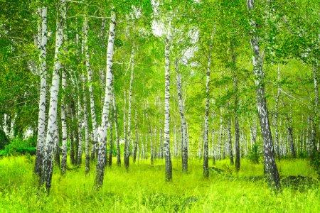 Photo pour Beau paysage - été birchwood - image libre de droit