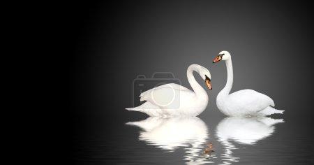 Photo pour Deux cygnes blancs sur fond noir - image libre de droit
