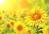 Zářivě žluté slunečnice