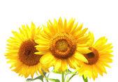 Tři slunečnice