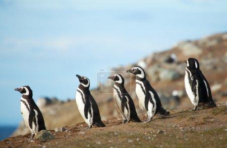 Five magellanic penguins on the sea shore...