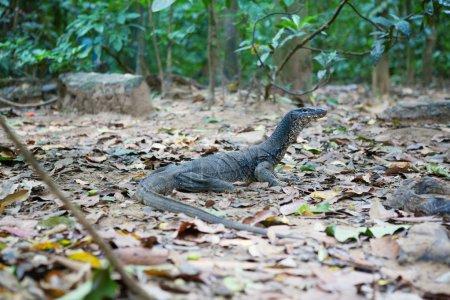 Monitor lizard in natural habitat