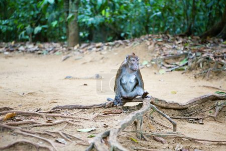 Crab-eating macaque in its natural environment