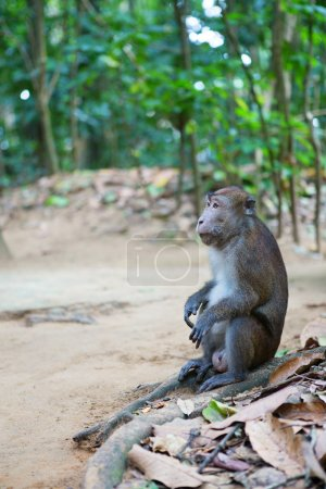 Crab-eating macaque on Palawan, Philippines