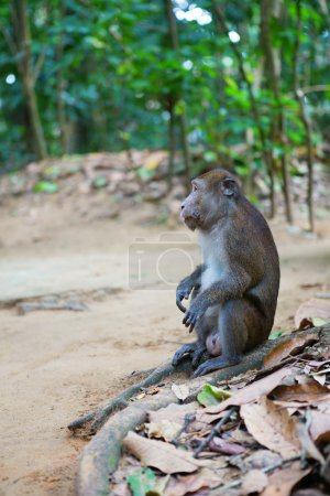 Longtail macaque in its natural environment