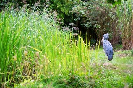 Photo pour Shoebill dans le milieu naturel - image libre de droit
