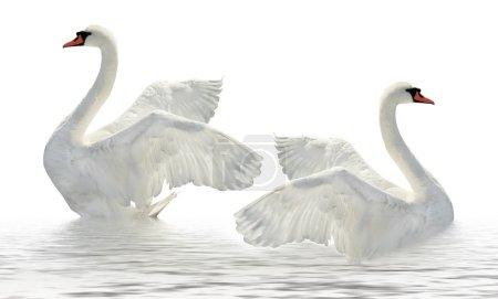 Photo pour Deux cygnes sur la surface blanche. - image libre de droit