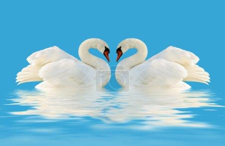 Photo pour Deux cygnes sur la surface bleue . - image libre de droit