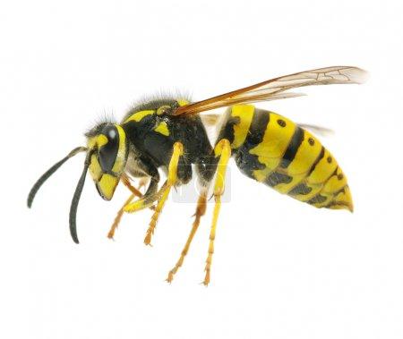 Wasp isolated on white background...
