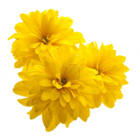 Photo for Yellow flower isolated on white background - Royalty Free Image