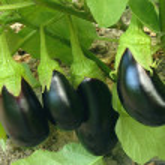 Eggplant fruits growing in the garden...