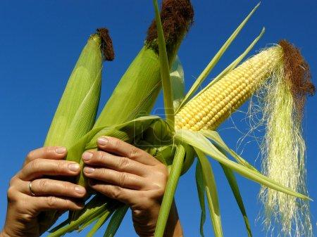 Photo pour Frais récolté trois épis de maïs dans les mains - image libre de droit