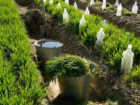 Photo pour Deux seaux et bêche dans le fossé d'irrigation entre les parterres de légumes avec du blé en croissance comme engrais vert et quelques bootles comme petits hothouses pour la culture des semis - image libre de droit