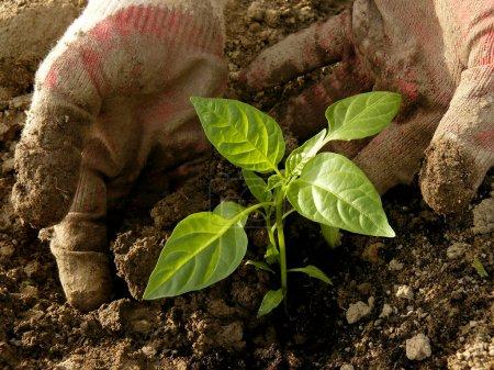 planting pepper seedlings