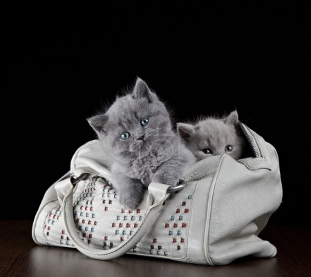 British short hair kittens in a bag