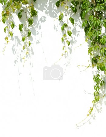 Photo for Green grape leaves on white wall background - Royalty Free Image