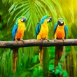 Blue-and-Yellow Macaw (Ara ararauna), also known a...