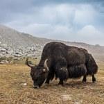 Yak grazing in Himalayas. Ladakh, India...
