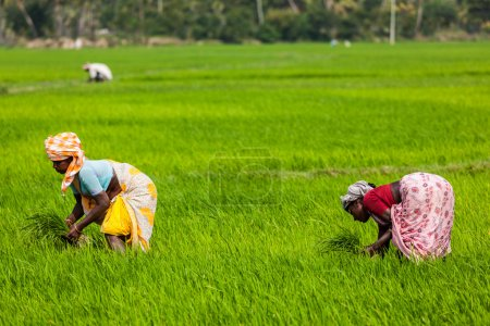Indian women harvests rice in the field