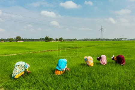 Indian women harvest rice in the field