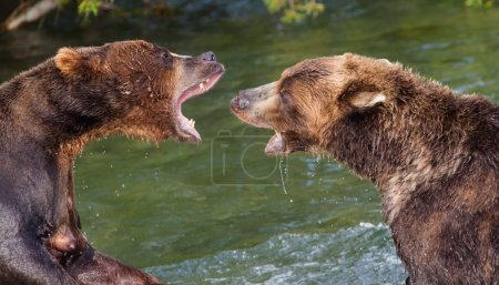 Brown Bears Fighting in the Water