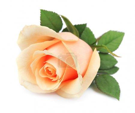 Photo pour Belle rose orange sur blanc - image libre de droit
