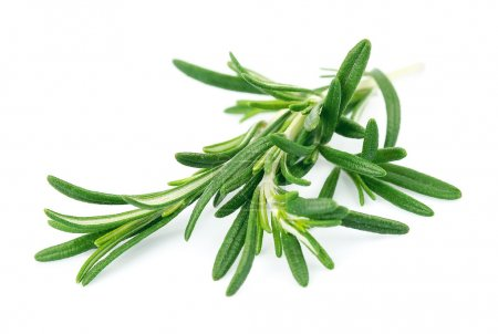 Photo for Twig of rosemary on a white background - Royalty Free Image