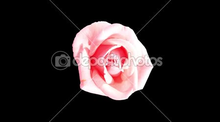 Blooming pink roses flower buds ALPHA matte, FULL HD. (Rose Pink Asiana), timelapse