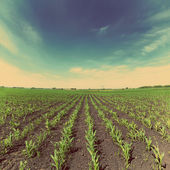 Corn field - vintage retro style