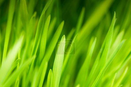 Photo pour Herbe verte près comme un bacgkround - image libre de droit