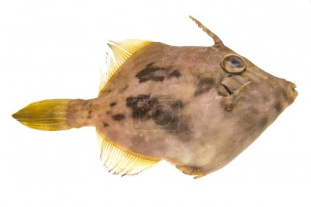 Photo pour Pesce de poisson San Pietro - image libre de droit