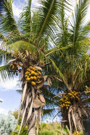 Cocoa palm